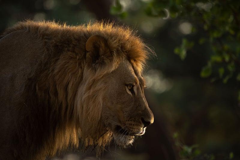 evil lion